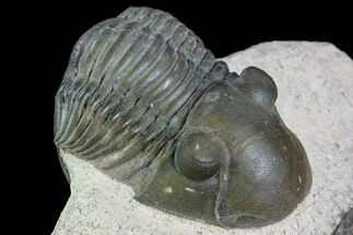 "Buy 2.1"" Brown Paralejurus Trilobite - Gorgeous Specimen - #105166"