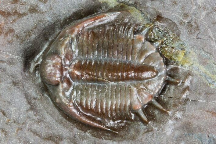 ".63"" Basseiarges Trilobite - Jorf, Morocco"