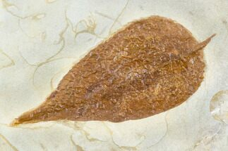 "Buy 2.4"" Fossil Leaf (Celtis) - Montana - #105160"