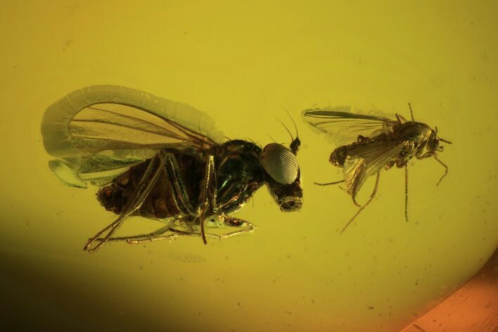 Detailed Fossil Flies In Baltic Amber - Excellent Eye Facets!