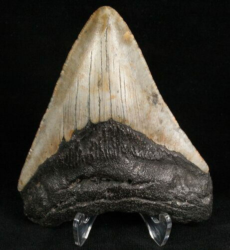 "3.64"" Megalodon Tooth - North Carolina"