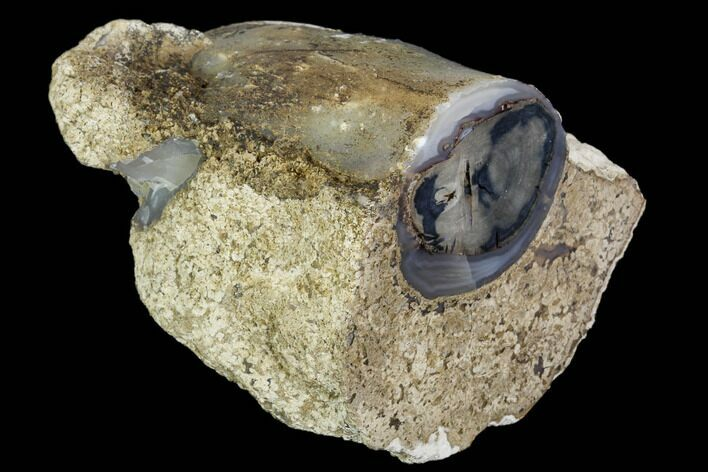 "2.4"" Petrified Wood Limb Cast - Wyoming"
