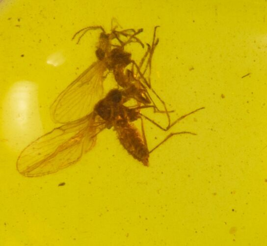 2 Cretaceous Fossil Fly (Diptera) in Amber - Myanmar