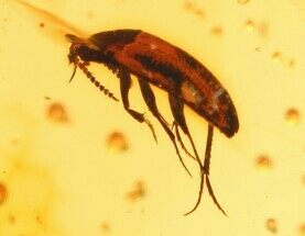 Cretaceous Fossil Beetle (Coleoptera) in Amber - Myanmar For Sale, #105821