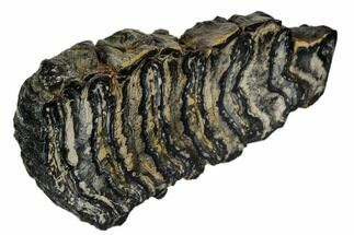 "4.4"" Polished Mammoth Molar Slice - South Carolina For Sale, #106415"