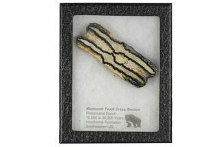 Mammuthus columbi - Fossils For Sale - #106437