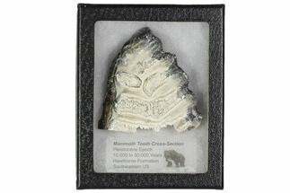 "3.3"" Mammoth Molar Slice With Case - South Carolina For Sale, #106469"
