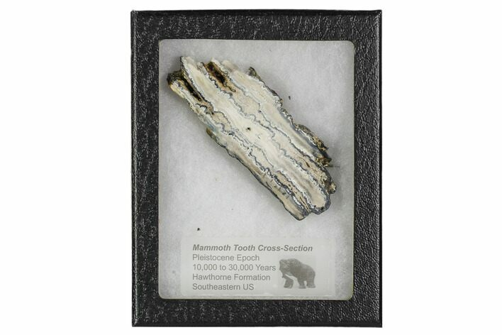 "3.6"" Mammoth Molar Slice With Case - South Carolina"