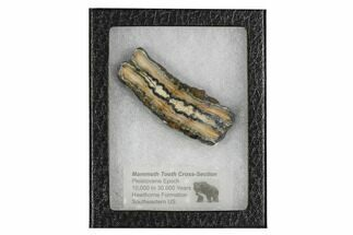 "3"" Mammoth Molar Slice With Case - South Carolina For Sale, #106490"