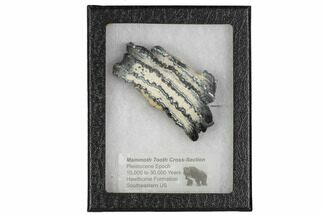 Mammuthus columbi - Fossils For Sale - #106422
