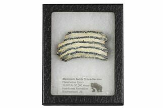"2.7"" Mammoth Molar Slice With Case - South Carolina For Sale, #106511"