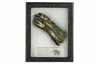 "3.5"" Mammoth Molar Slice With Case - South Carolina For Sale, #106475"