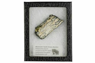 "Buy 2.7"" Mammoth Molar Slice With Case - South Carolina - #106498"