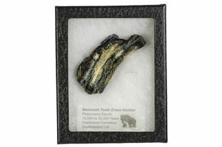 "3.1"" Mammoth Molar Slice With Case - South Carolina For Sale, #106526"