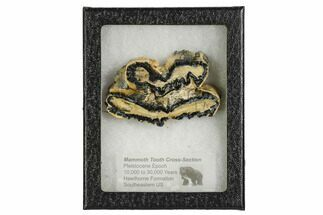 Mammuthus columbi - Fossils For Sale - #106533