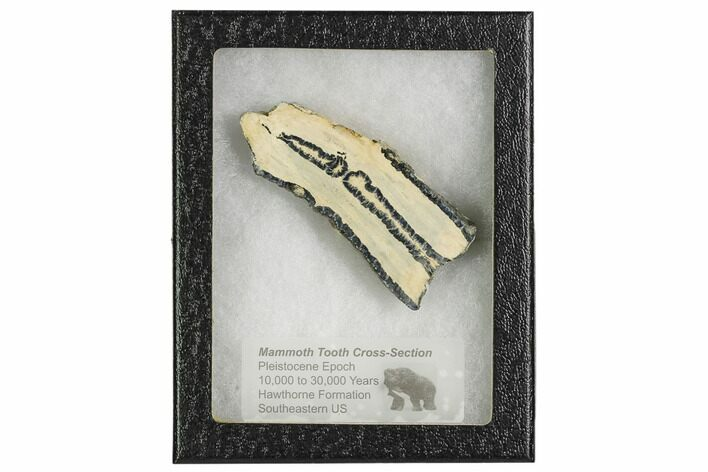 "3.1"" Mammoth Molar Slice With Case - South Carolina"