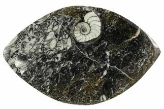 "Buy 5.5"" Wide, Fossil Goniatite Dish - Morocco - #106711"