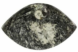 "5.4"" Wide, Fossil Goniatite Dish - Morocco For Sale, #106706"
