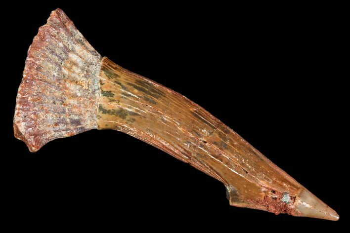 "1.9"" Fossil Sawfish (Onchopristis) Rostral Barb- Morocco"