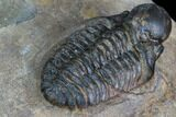 ".9"" Bubble Nose Actinopeltis Trilobite - Rare Species - #106849-2"