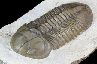 Struveaspis bignoni - Fossils For Sale - #106974