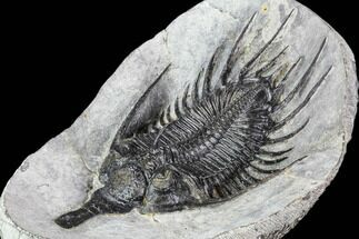 "Huge, 5.35"" Spiny Psychopyge Trilobite - Issoumour, Morocco For Sale, #107000"