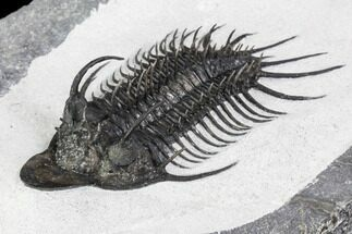 "Buy 3.15"" New Trilobite Species (Affinities to Quadrops) - #107002"