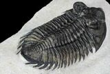 "2.75"" Coltraneia Trilobite Fossil - Huge Faceted Eyes - #106982-4"