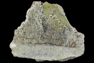 Unidentified (Likely Sauropod) - Fossils For Sale - #107031