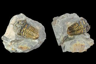 Calymene sp. - Fossils For Sale - #106626