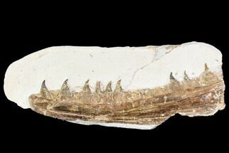 "6.1"" Fossil Mosasaur (Tethysaurus) Jaw Section  - Goulmima, Morocco For Sale, #107096"