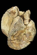 Unidentified - Fossils For Sale - #107178