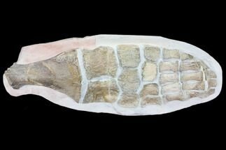"Giant, 29"" Fossil Plesiosaur Paddle - Goulmima, Morocco For Sale, #107318"