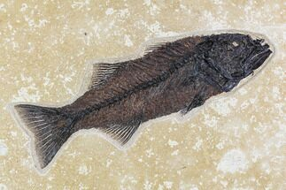 "12.2"" Fossil Fish (Mioplosus) From 18 Inch Layer - Wyoming For Sale, #107474"