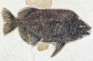"Buy 13"" Fossil Fish (Phareodus) - Green River Formation, 18 Inch Layer - #107476"