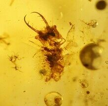 Fossil Antlion Larva and Beetle In Amber - Myanmar For Sale, #107549