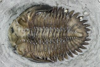 ".74"" Greenops Trilobite - Hungry Hollow, Ontario For Sale, #107540"