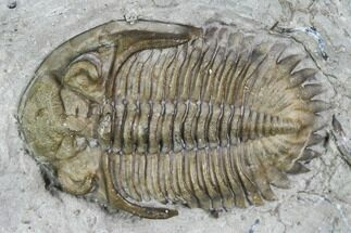 "Buy .83"" Greenops Trilobite - Hungry Hollow, Ontario - #107542"