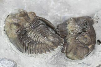 Two Greenops Trilobites - Hungry Hollow, Ontario For Sale, #107546