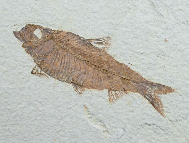 "4.9"" Knightia Fossil Fish - Wyoming"