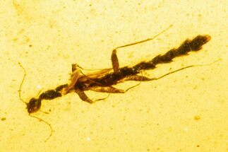 Buy Rare, Cretaceous Walking Stick (Phasmatodea)  In Amber - Myanmar - #107572