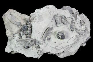 "Buy 3.7"" Fossil Crinoid and Brachiopod Plate - Indiana - #106300"