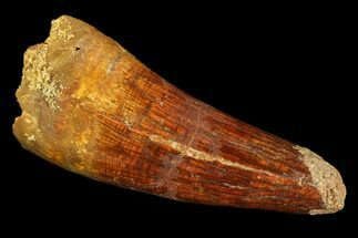 "2.0"" Spinosaurus Tooth - Real Dinosaur Tooth For Sale, #107744"