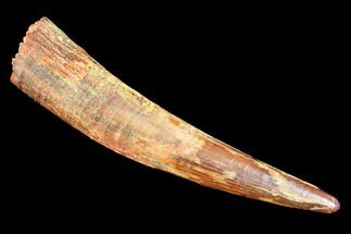 "1.4"" Pterosaur (Siroccopteryx) Tooth - Morocco For Sale, #107951"