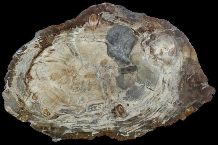 "21.5"" Thick-Cut, Petrified Wood (Araucaria) Round - Madagascar"