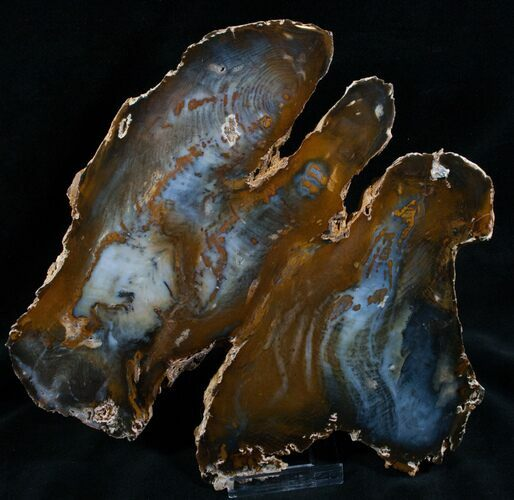 Dark Hubbard Petrified Wood Slab - 8.8""