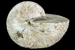 Nautilidae - Fossils For Sale - #108234
