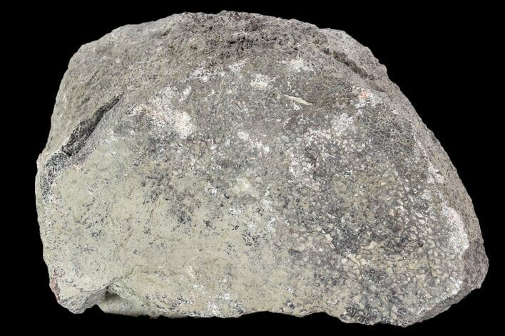 "5.1"" Rough, Agatized Dinosaur Bone (66 Ounces) - Colorado"