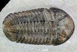 "4.15"" Pedinopariops Trilobite - Beautiful Shell Coloration - #108689-1"