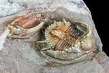Beautiful Basseiarges Trilobite With Partial - Jorf, Morocco - #108757-3